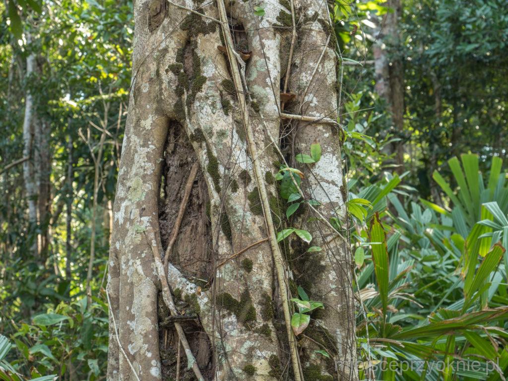 Spróchniałe drzewo w żelaznym uścisku figi