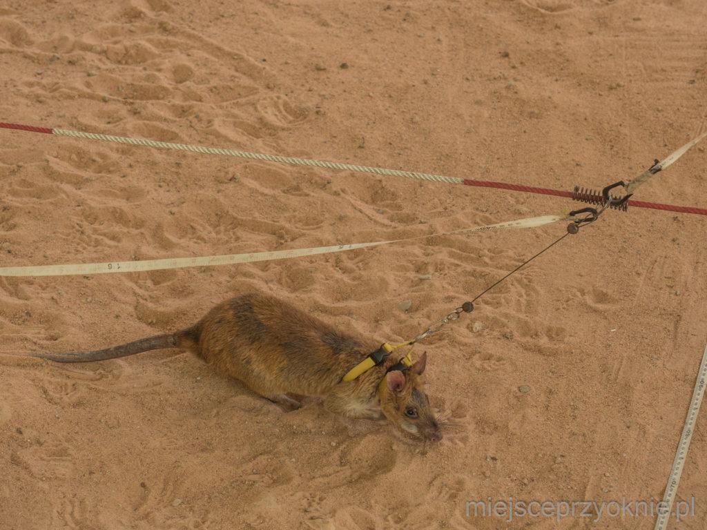 Wielkoszczur podczas pracy