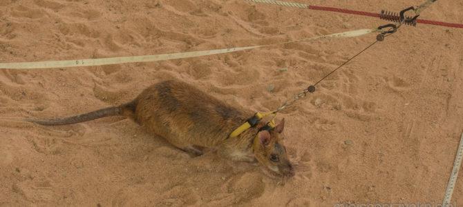 Rozbrajające szczury