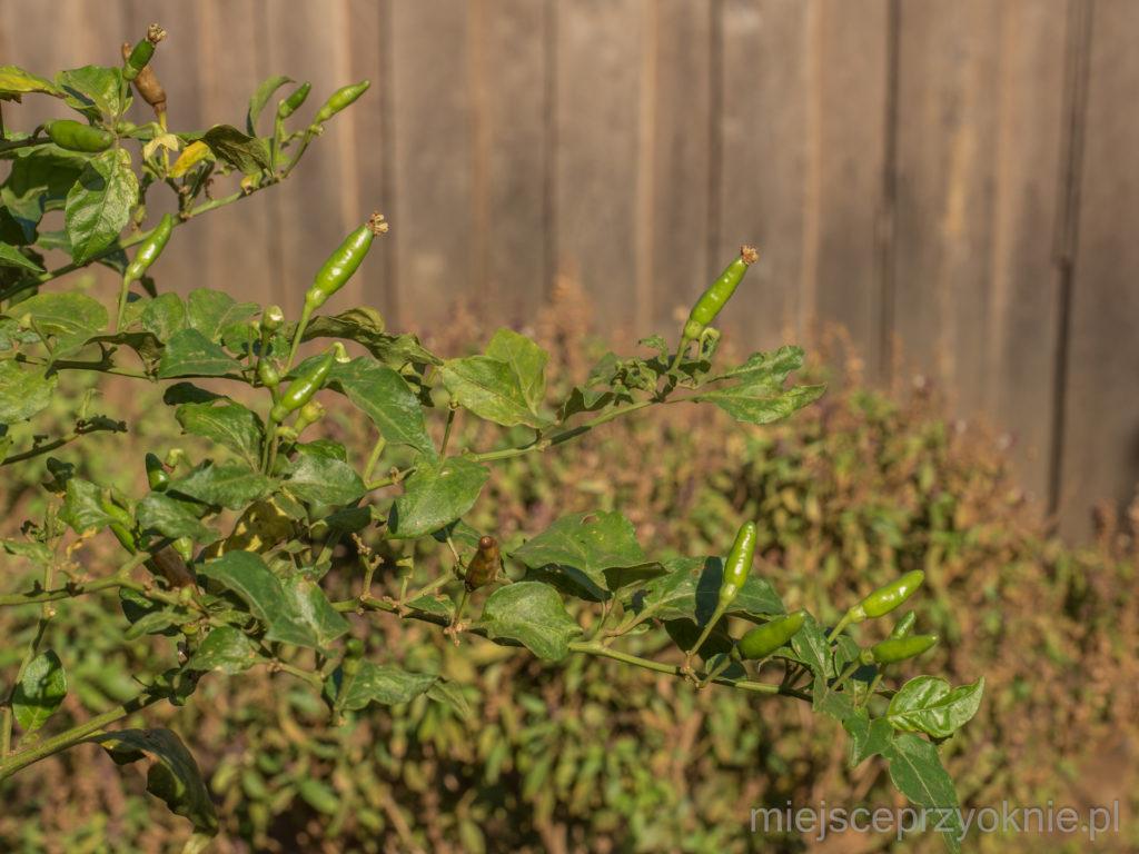 Papryczki chili w ogrodzie Sophoana