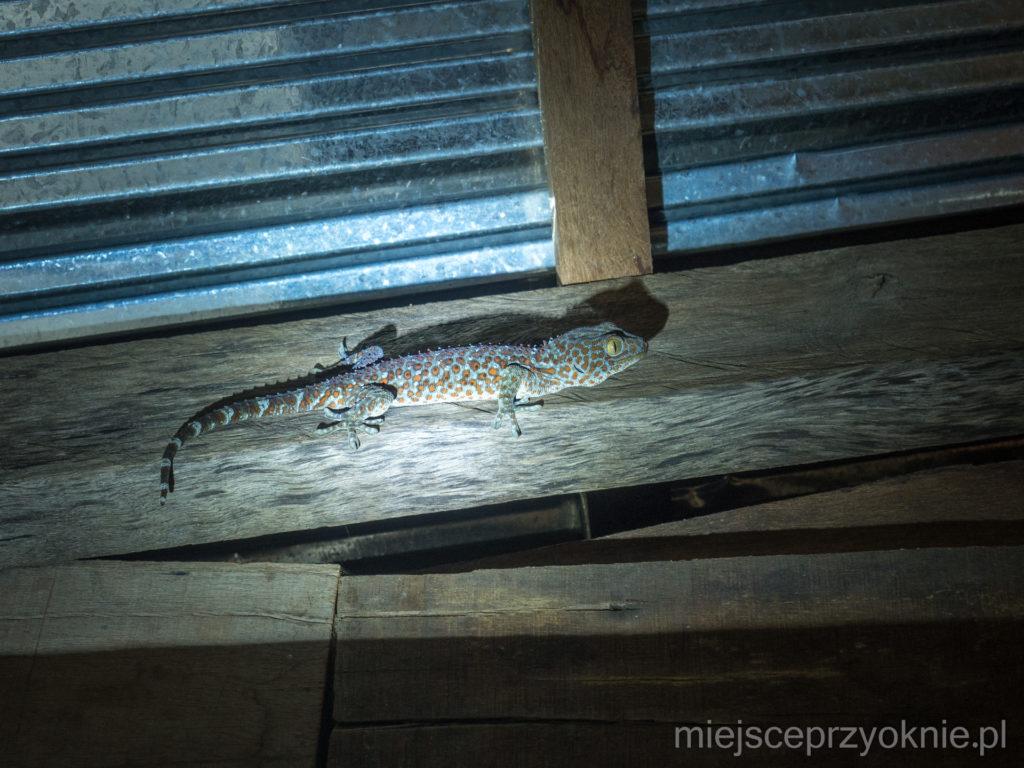 Gekon toke wpadł do nas w odwiedziny