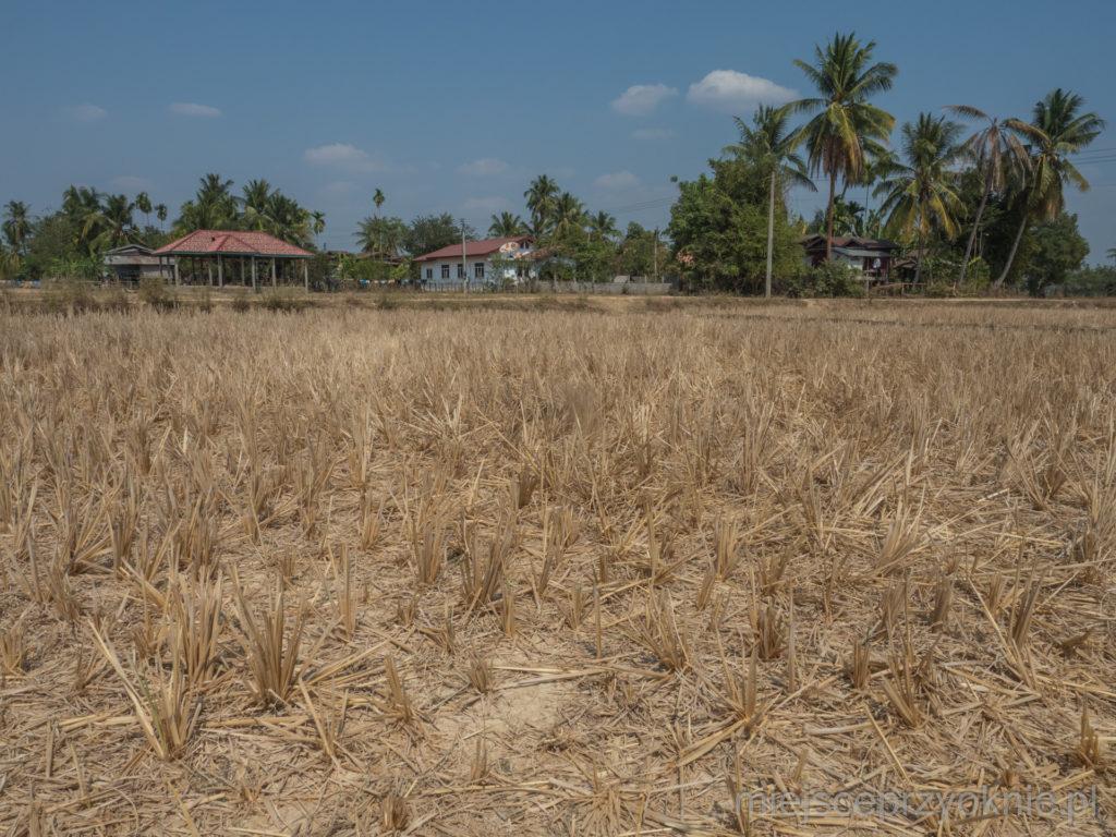 Pola ryżowe w porze suchej