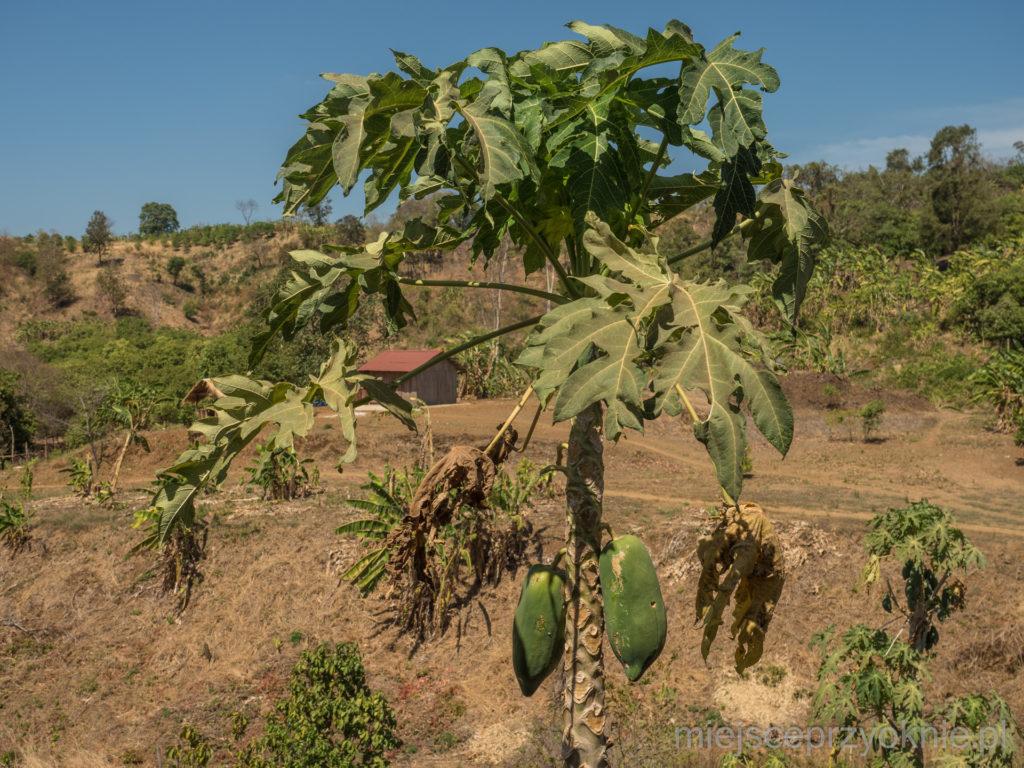 W ogrodzie rosły papaje