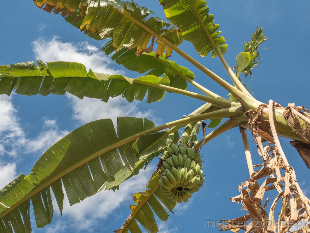 W okolicy rosły bananowce, więc bananów nigdy nie brakowało