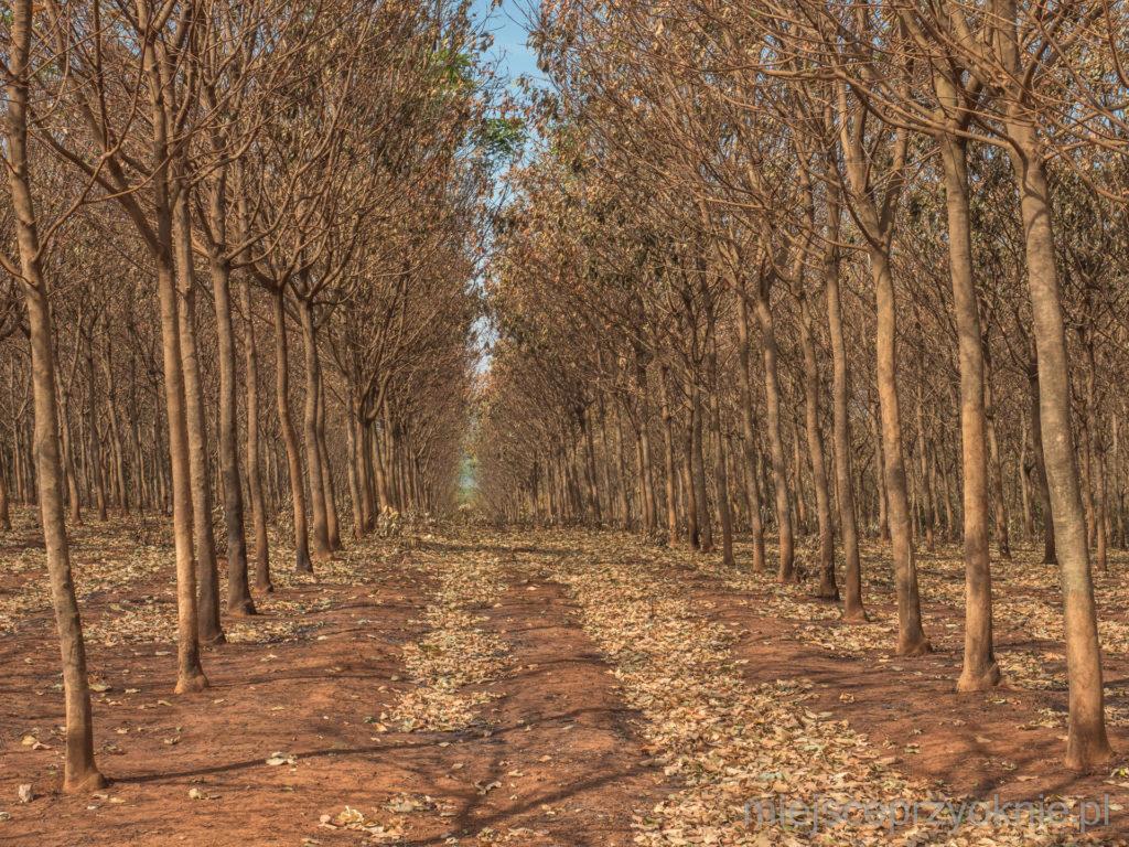 Drzewa na plantacji kauczuku posadzone w równych rzędach