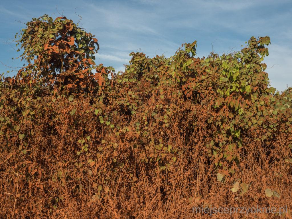 Roślinność pokryta pyłem w kolorze rdzy