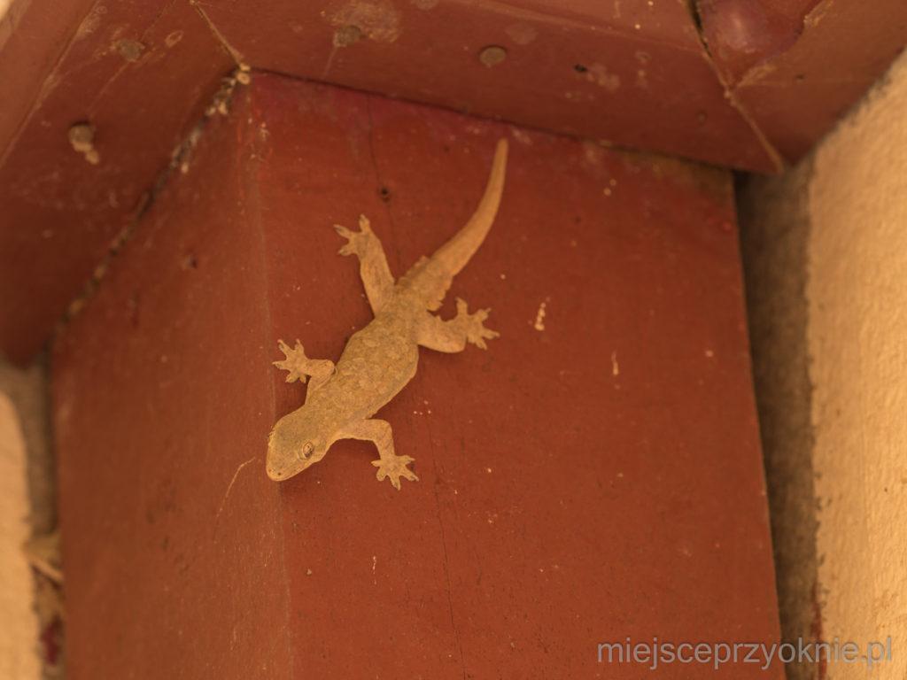 Nasz przydomowy gekon