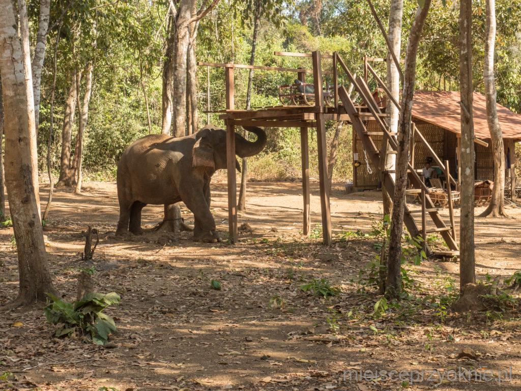 Smutny widok, słoń na łańcuchu