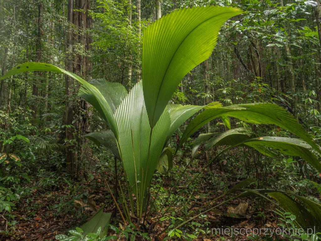 Johannesteijsmannia altifrons, roślina jak parasol