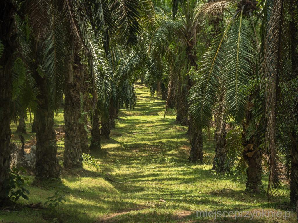Plantacja palm olejowych