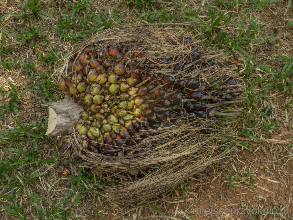 Owoc, z którego wytwarzany jest olej palmowy