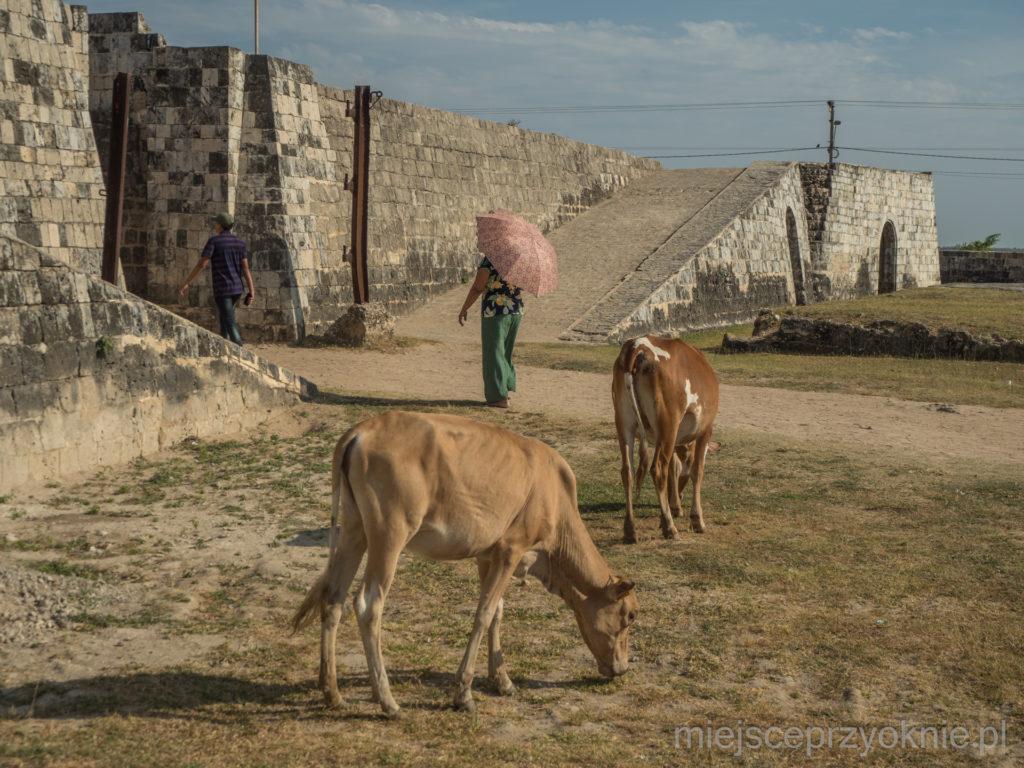 Na terenie fortu można spotkać pasące się krowy