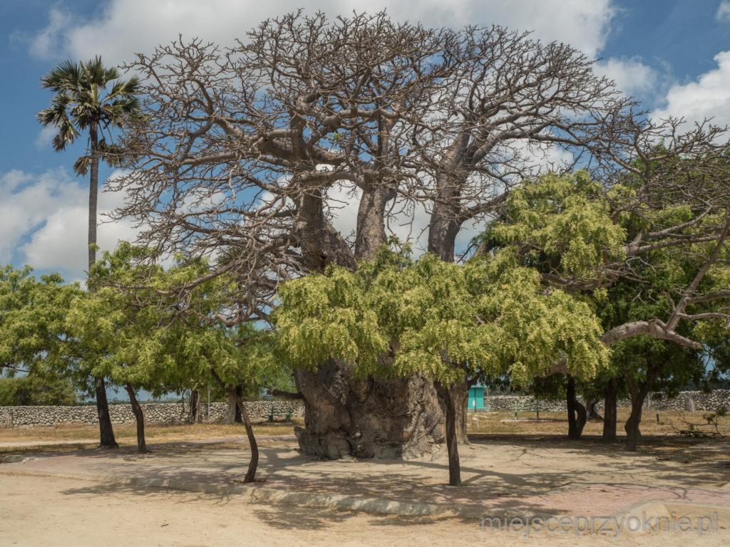 Kilkusetletni baobab, jedna z głównych atrakcji wyspy