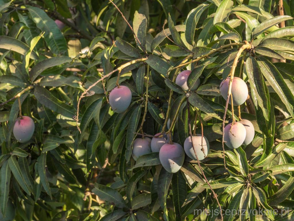 W ogrodzie rosły mango